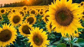 sunflowers are the best!