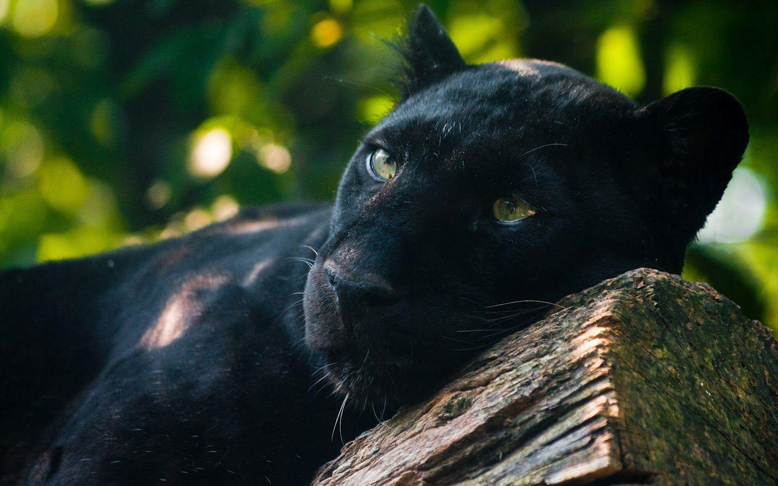 black leopard backgrounds - photo #40