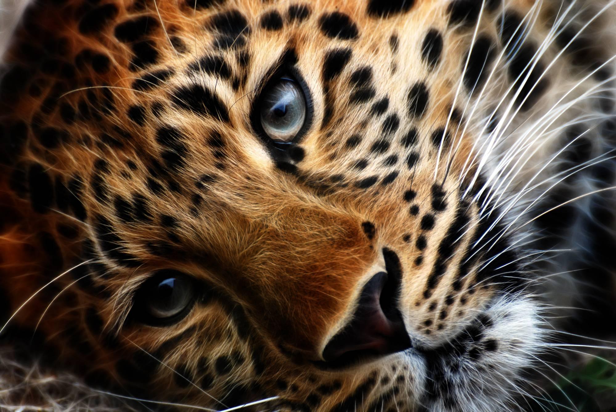 Desktop Hd Tiger Attack Pics: Tiger HD Wallpapers