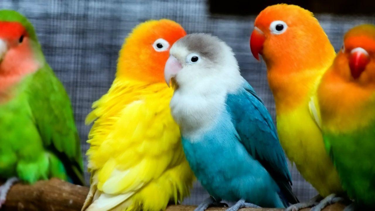 Lovebirds Wallpapers