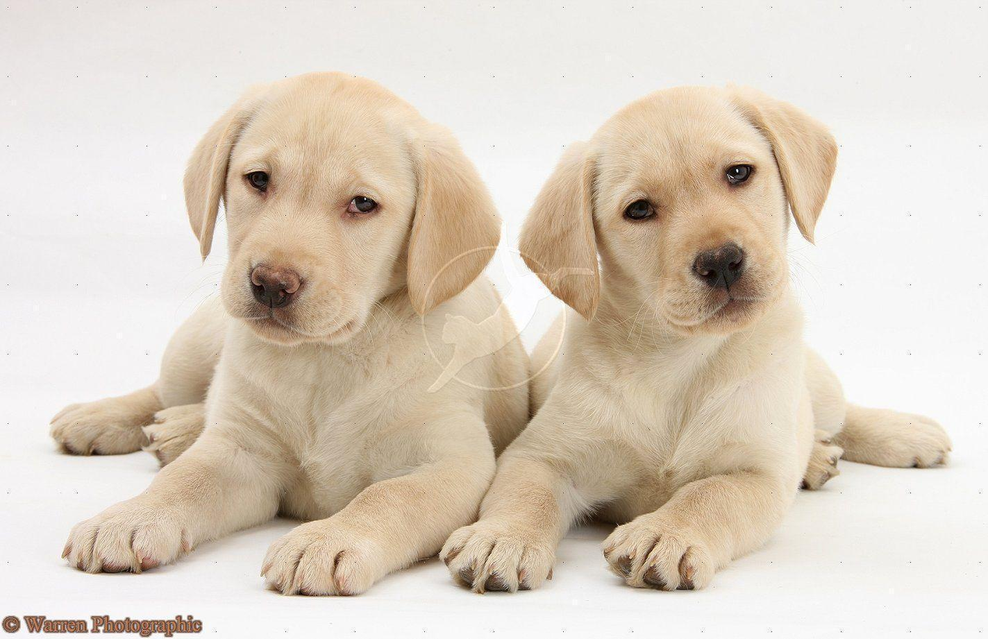 yellow lab puppy wallpaper - photo #2