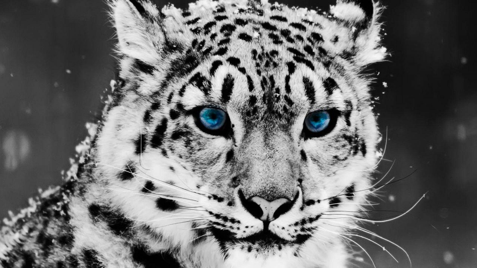 snow leopard wallpapers hd wallpaper cave