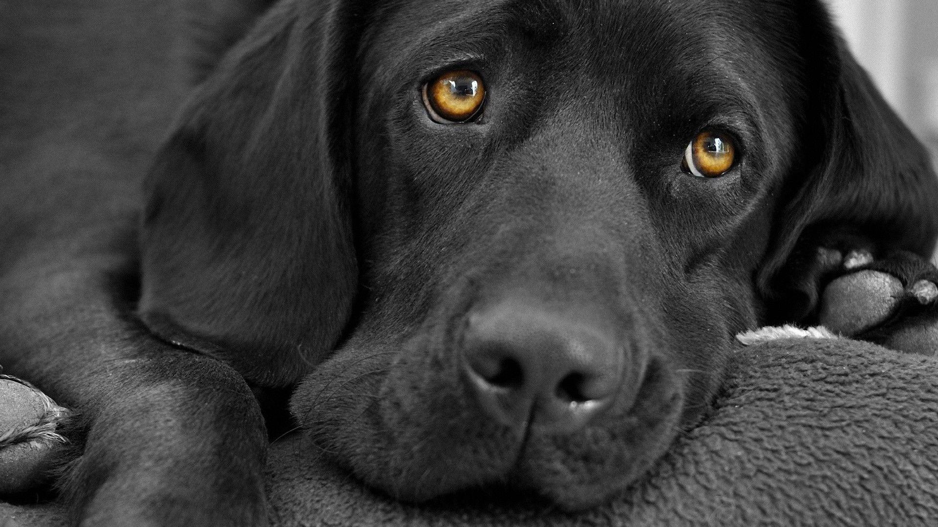 Black Labrador wallpaper - 991414