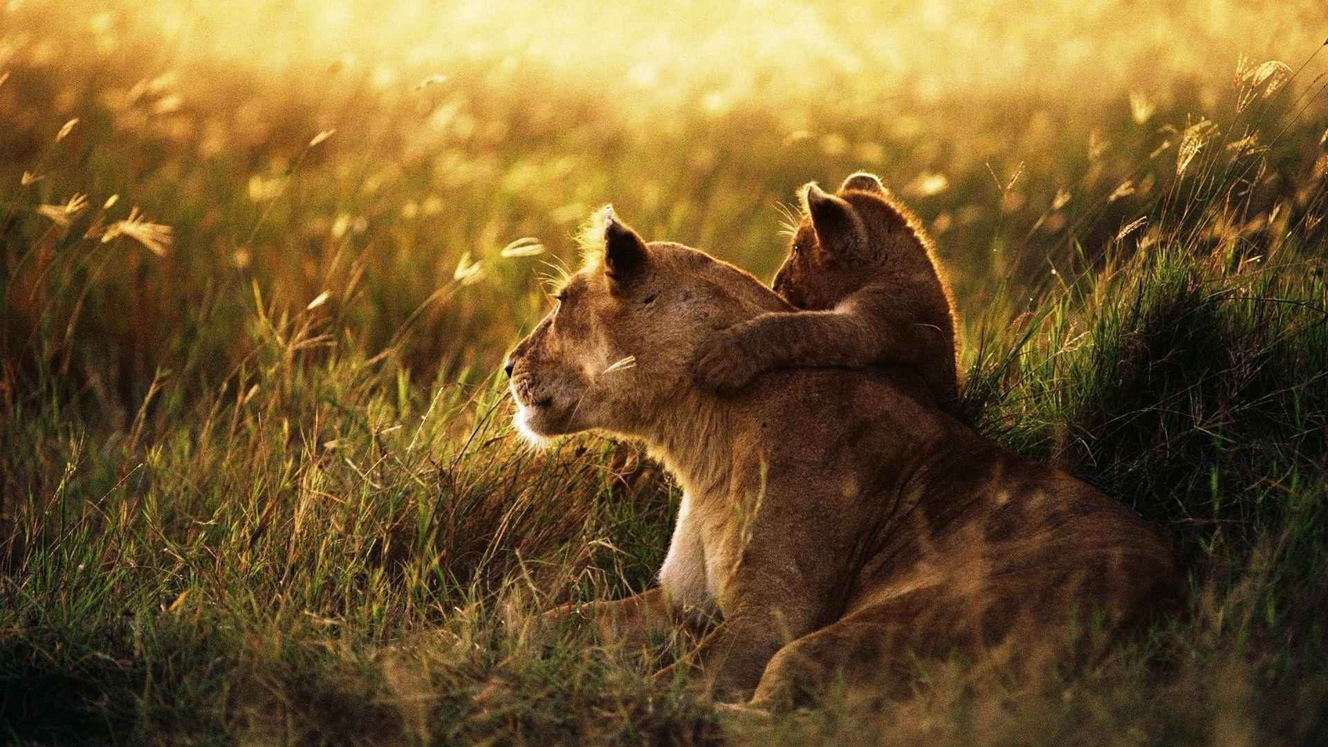 lion hd wallpapers 1024x768 - photo #28