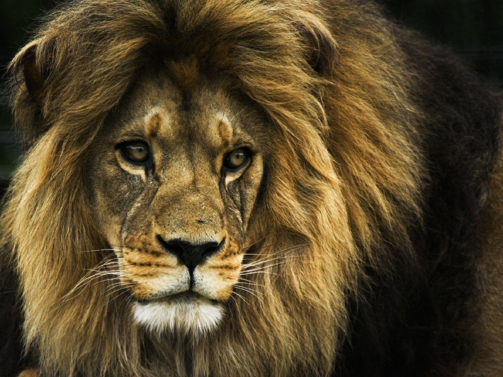 Lion Face Wallpapers - Wallpaper Cave