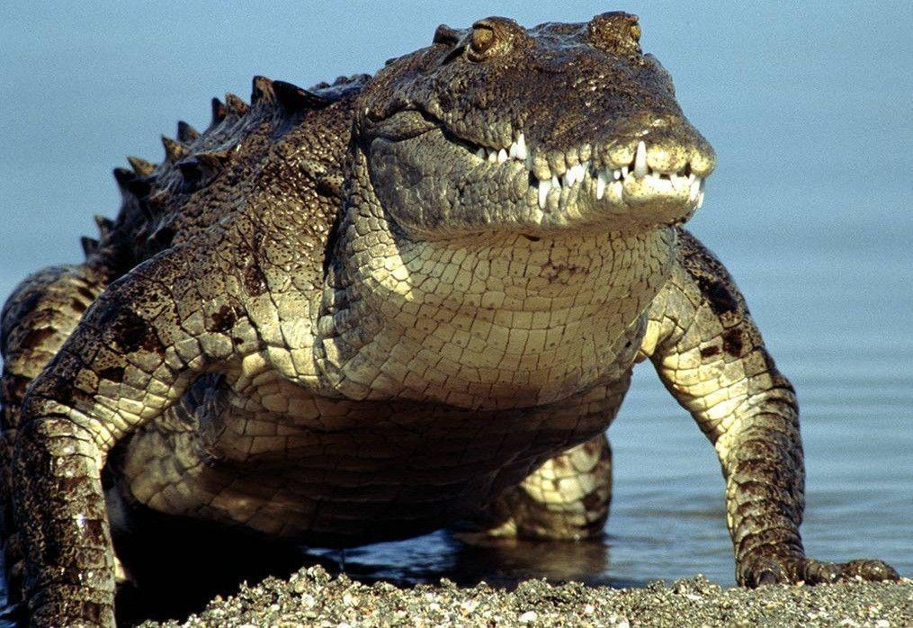Crocodile Wallpaper | Animals Wallpapers