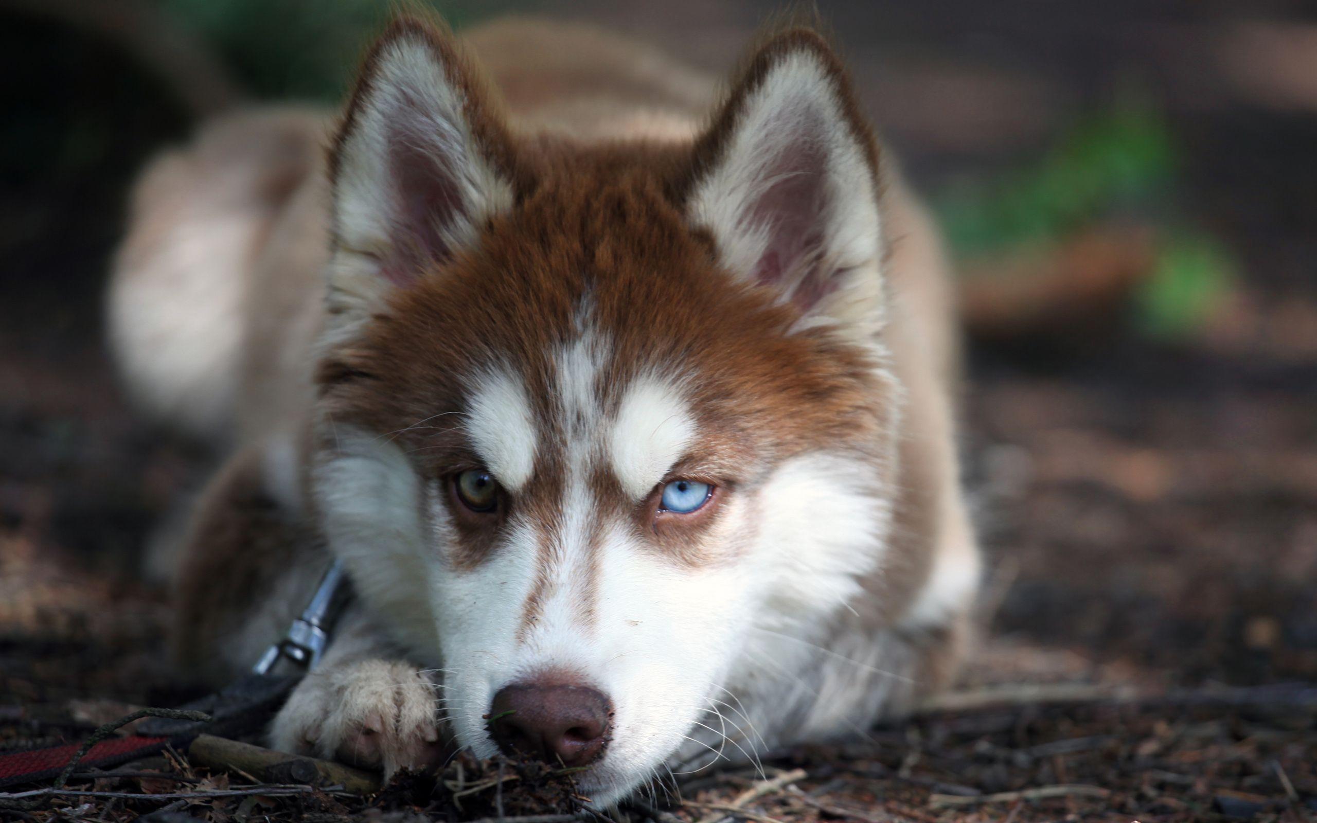 Siberian husky wallpapers wallpaper cave - Husky con occhi diversi ...