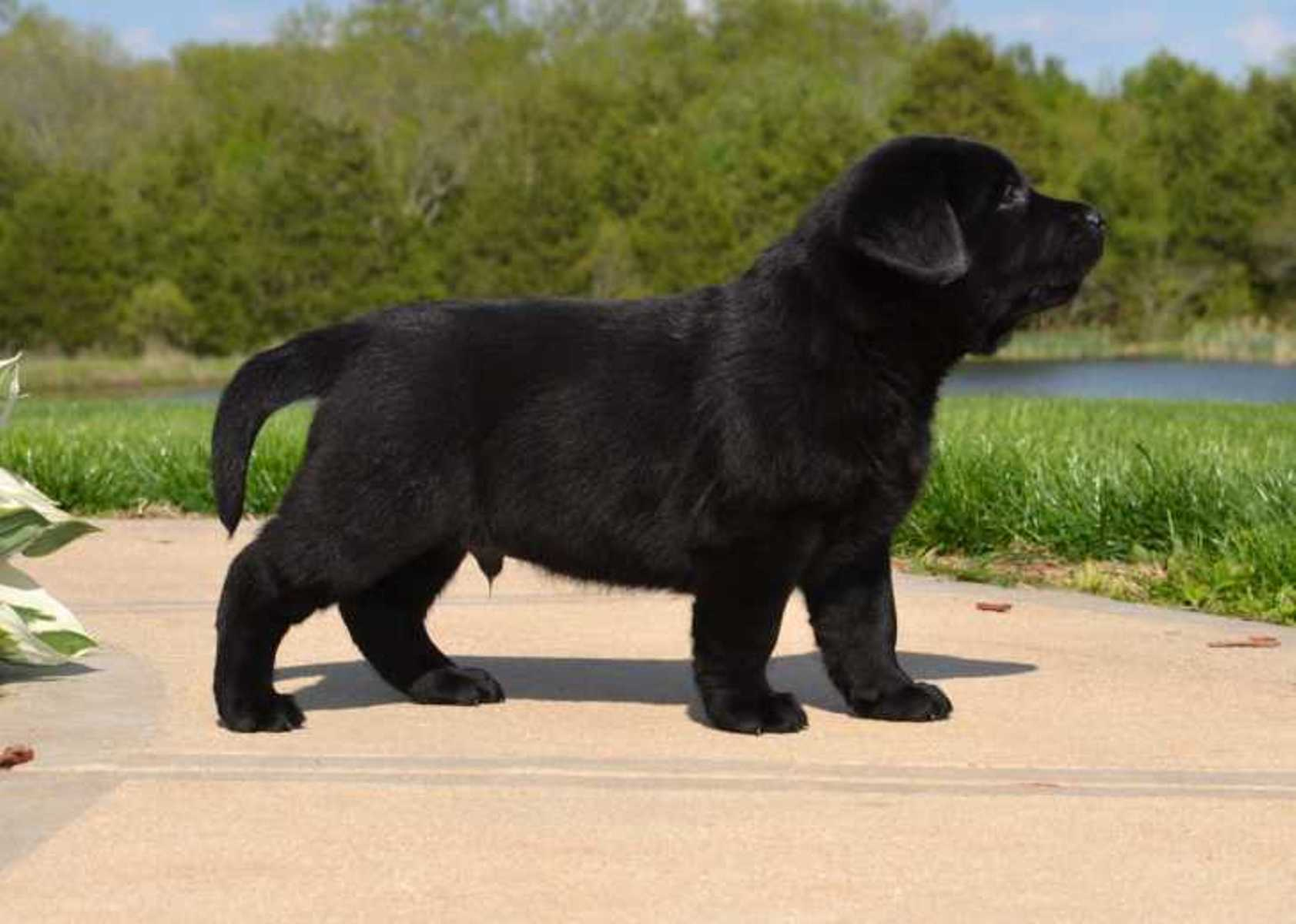 Black Lab Puppy Wallpaper  WallpaperSafari