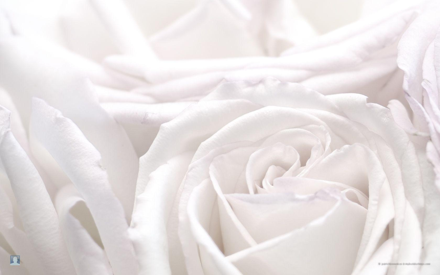 white rose backgrounds wallpapers -#main