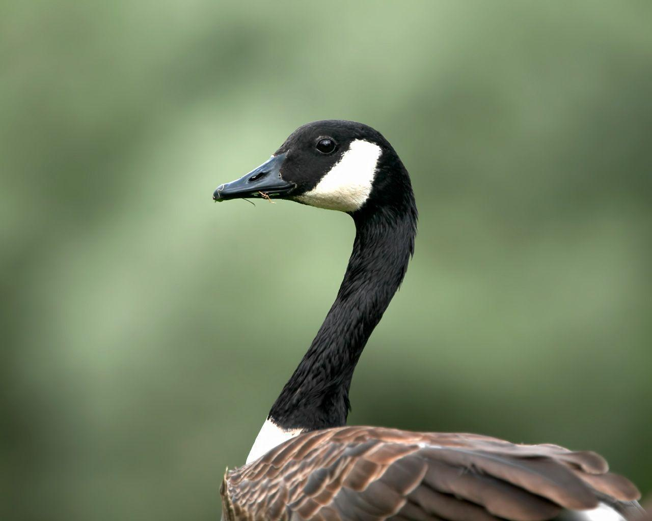 Geese Wallpapers - Wallpaper Cave