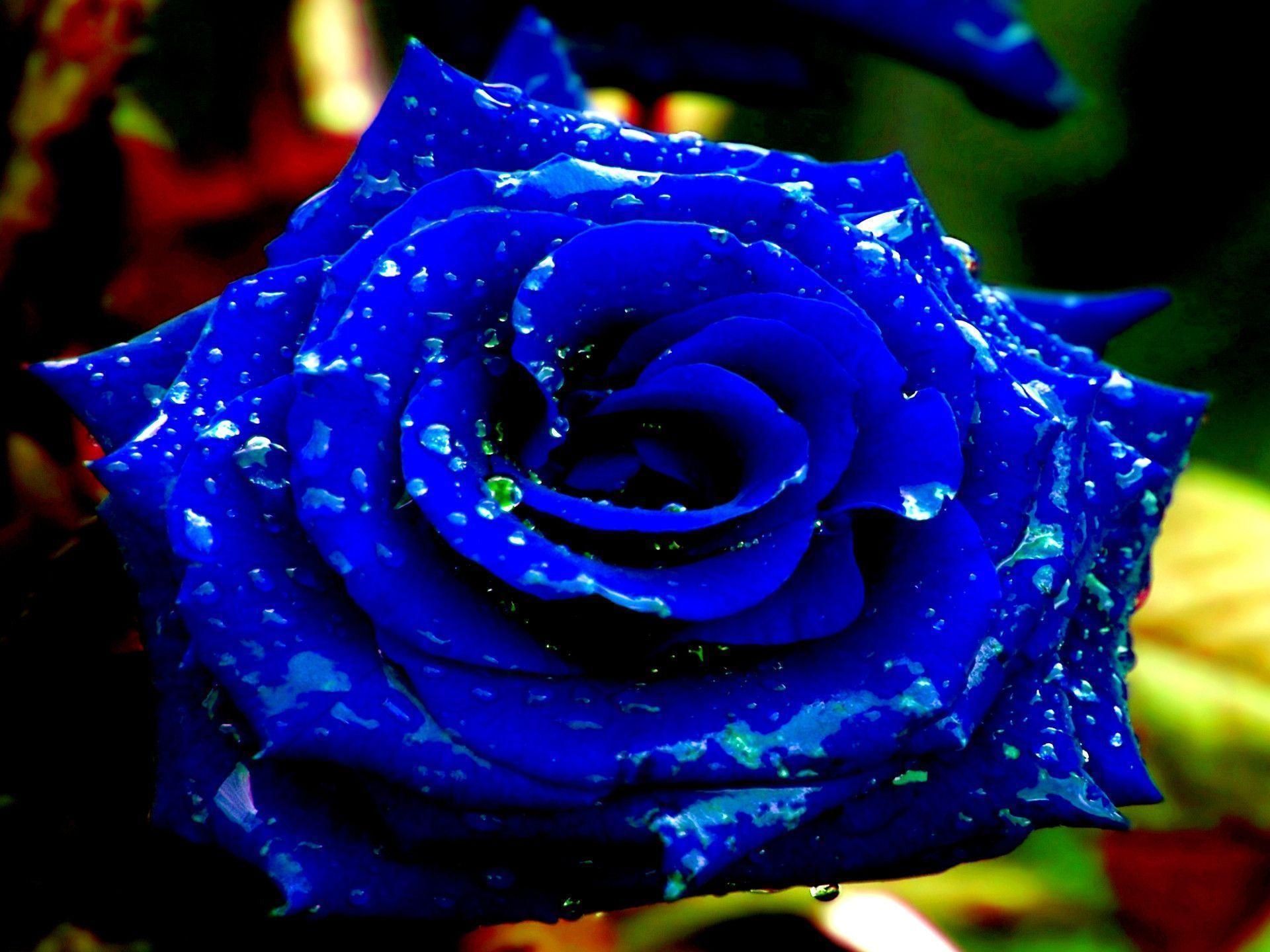Blue Rose Wallpapers   Wallpaper Cave