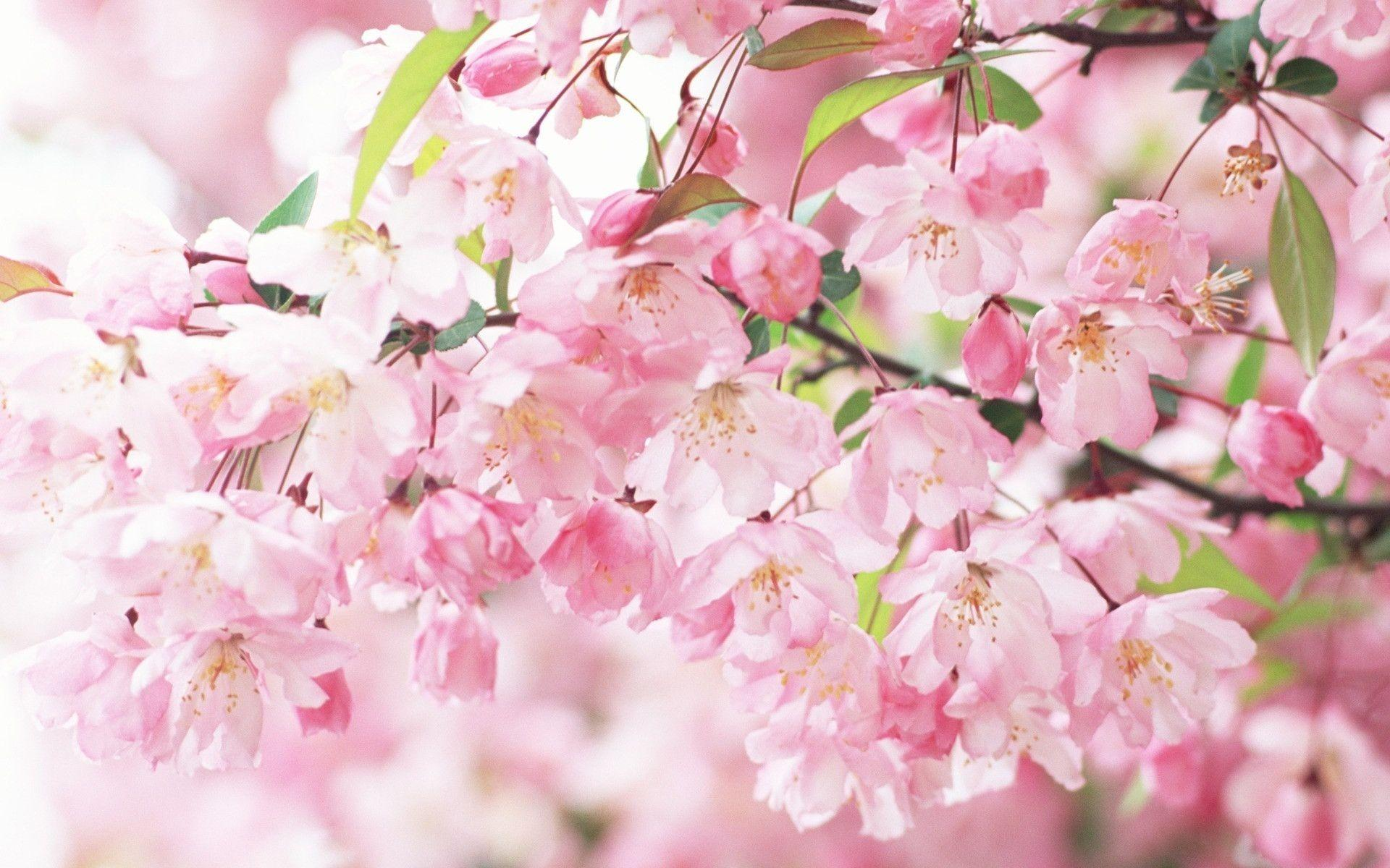 sakura spring flowers hd wallpaper nature wallpapers