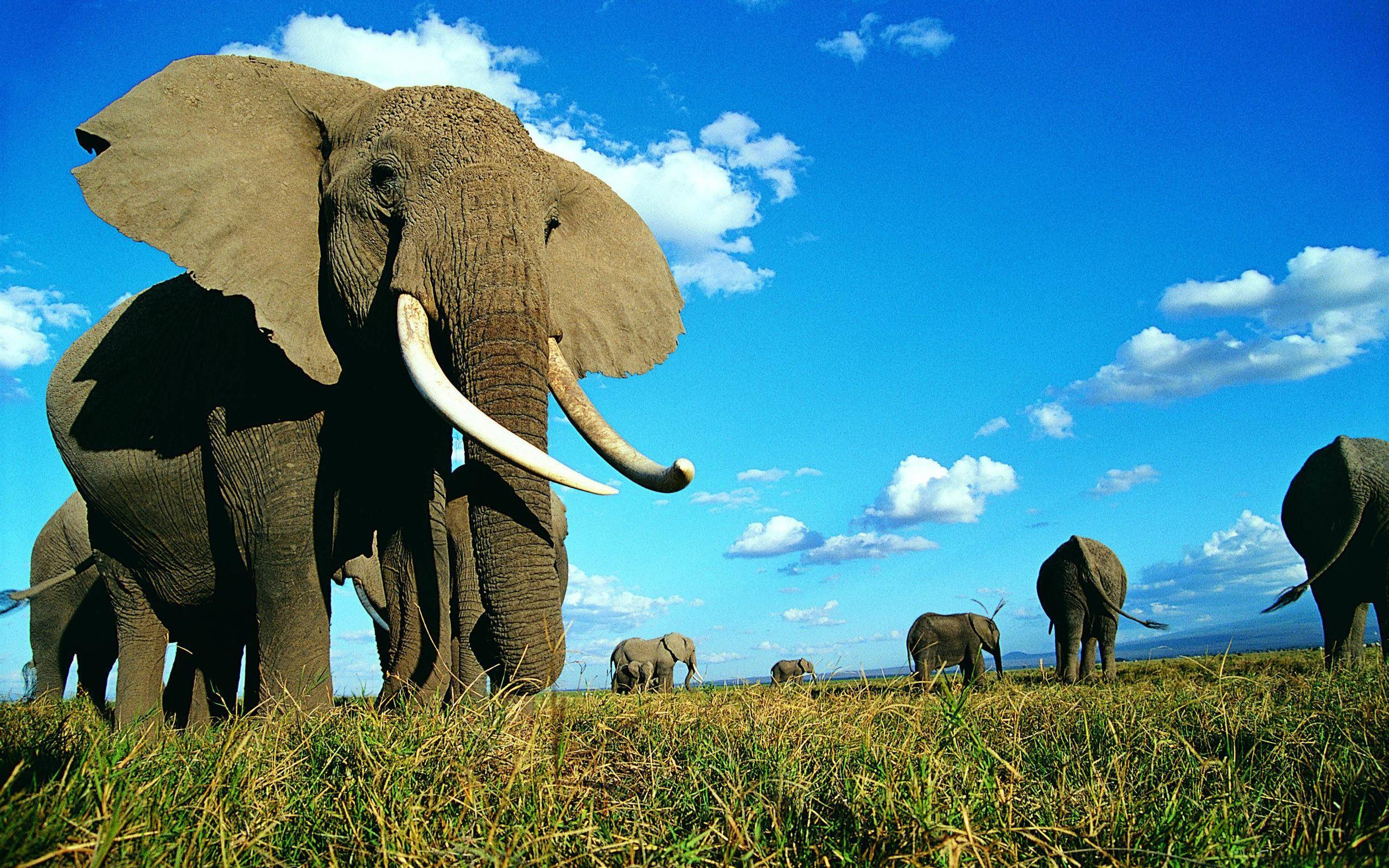 Hd wallpaper elephant - Wallpapers For Indian Elephant Background