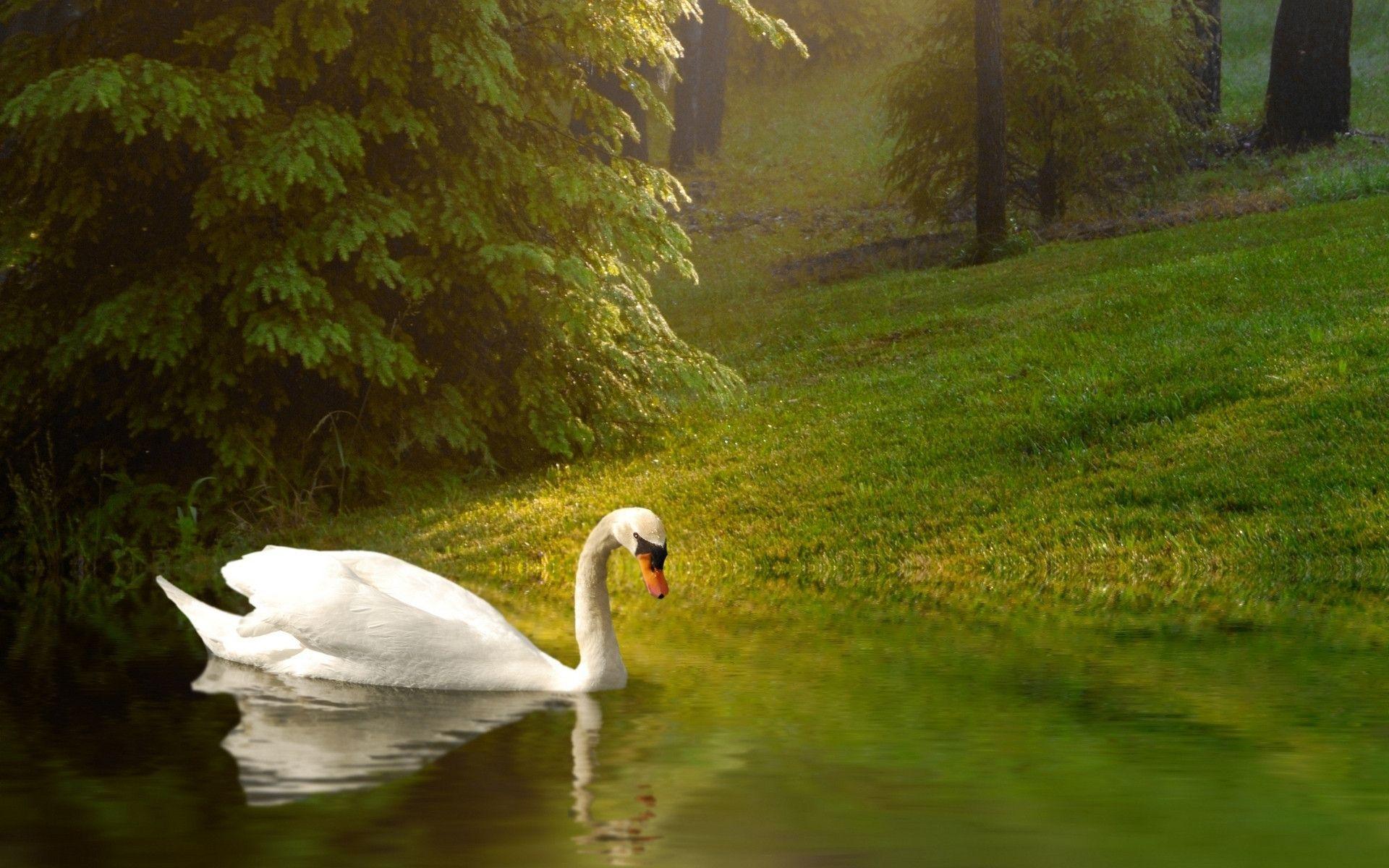 Beautiful Swan HD Desktop Wallpaper for K Ultra HD TV Wide