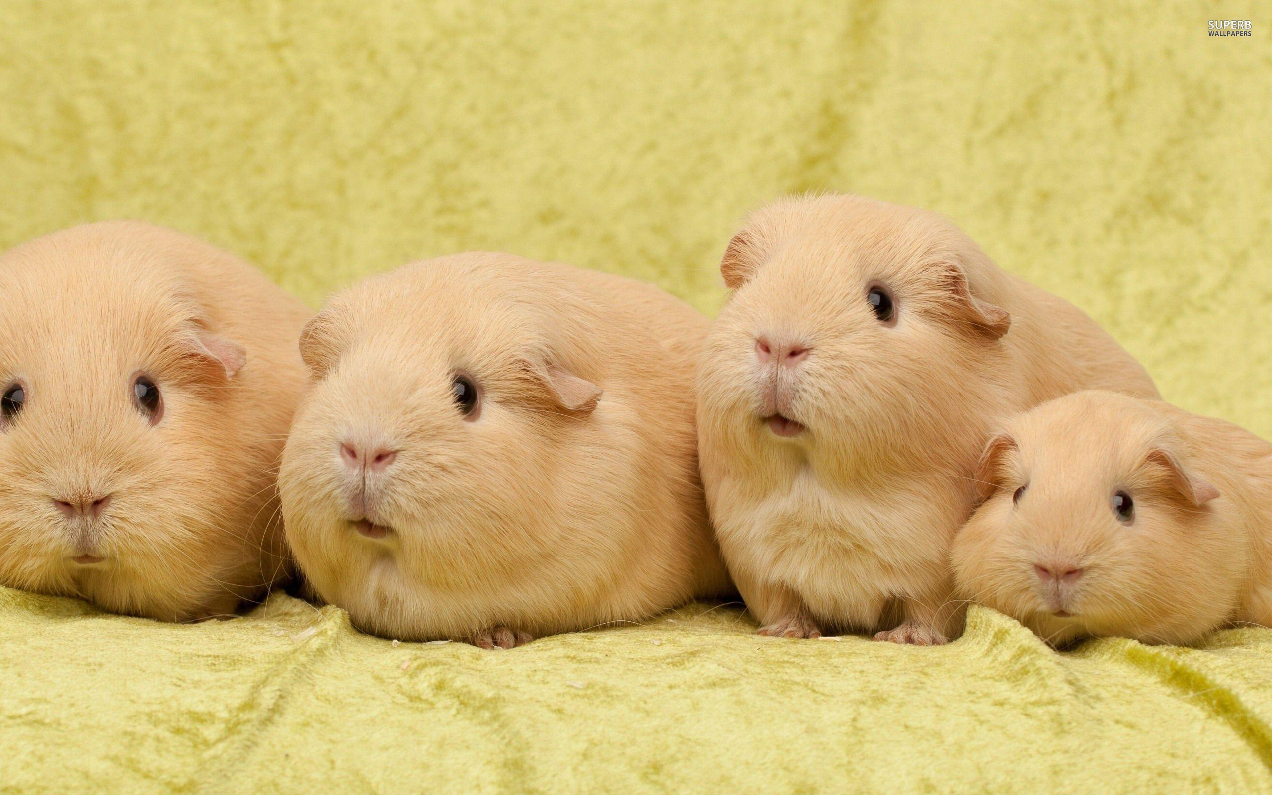 guinea pig wallpapers wallpaper cave