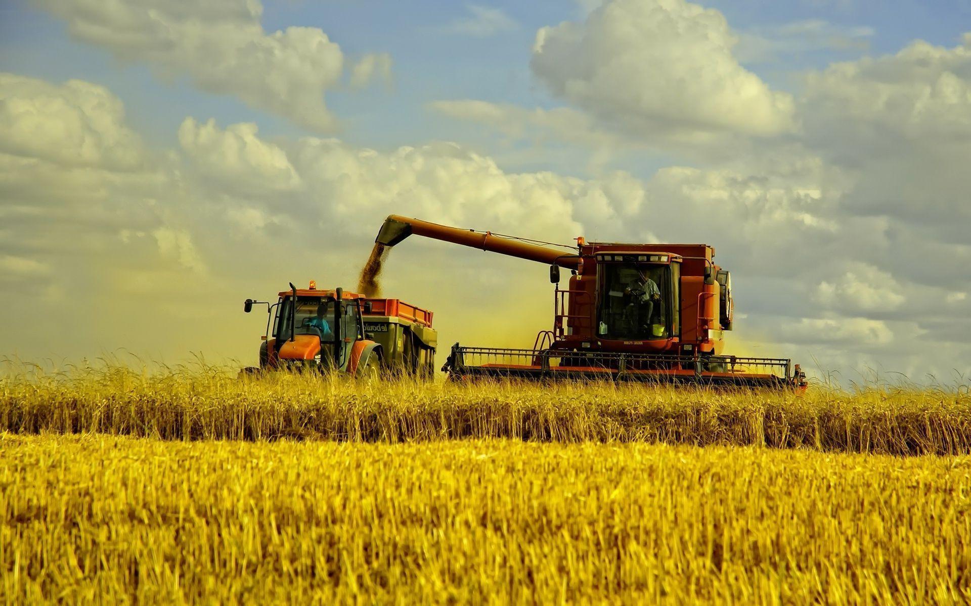 урожай, зерно, пшеница