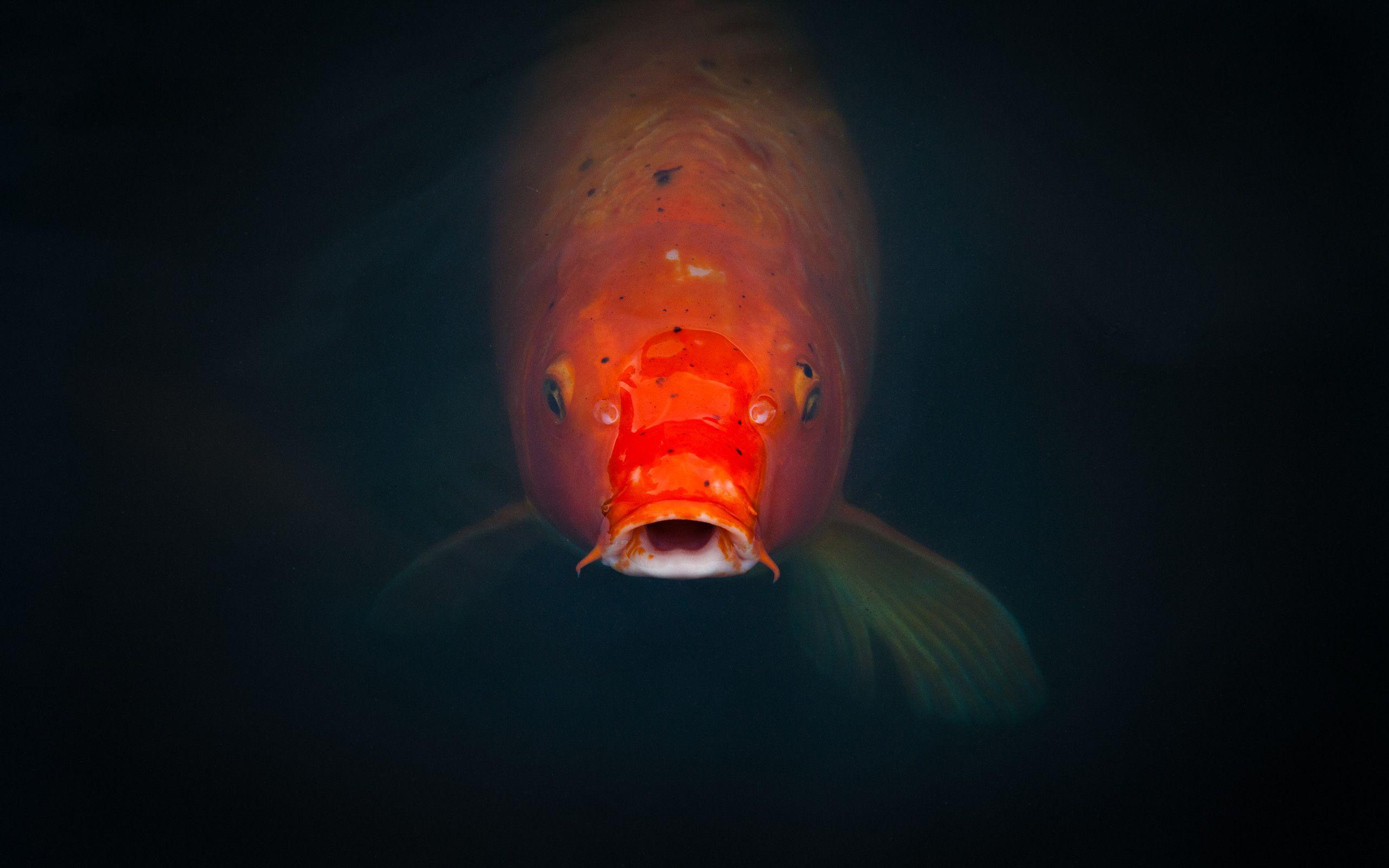 Koi fish backgrounds wallpaper cave for Wall koi fish