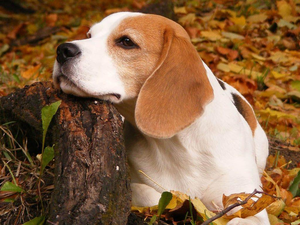 Beagle Wallpapers - Wallpaper Cave