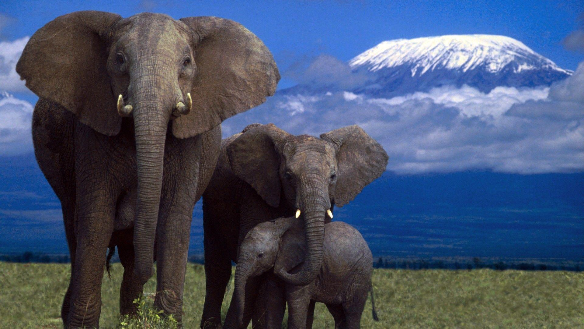 African Elephant Widescreen Wallpapers
