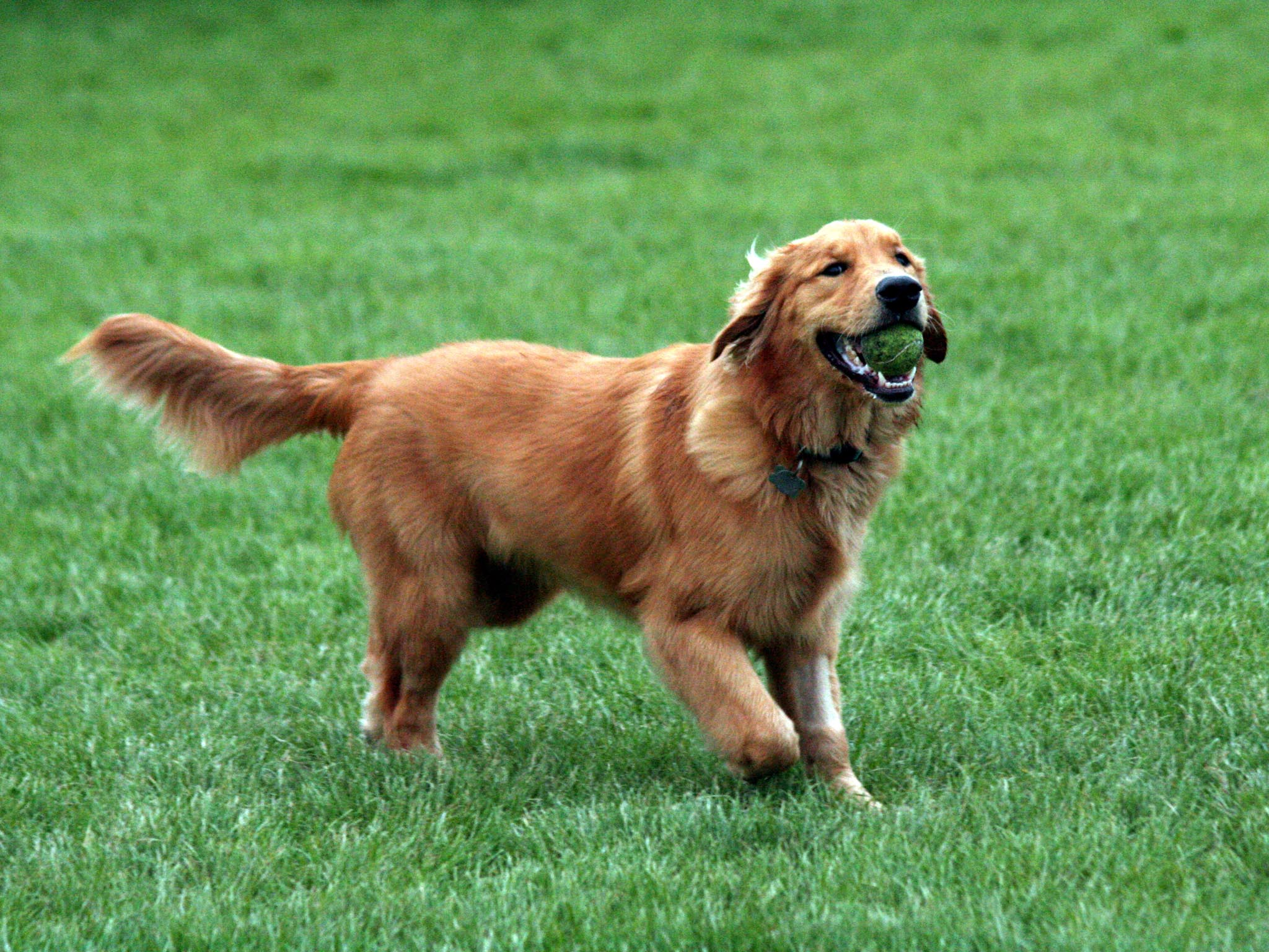 Wallpapers For > Golden Retriever Wallpaper Hd