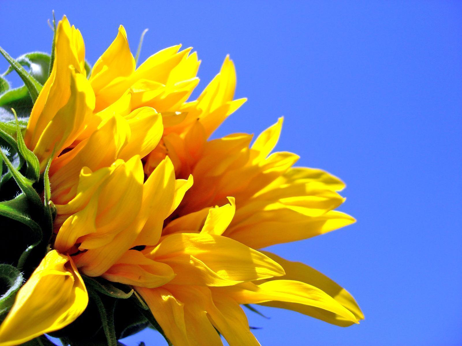 Yellow Sunflower Wallpapers Pictures