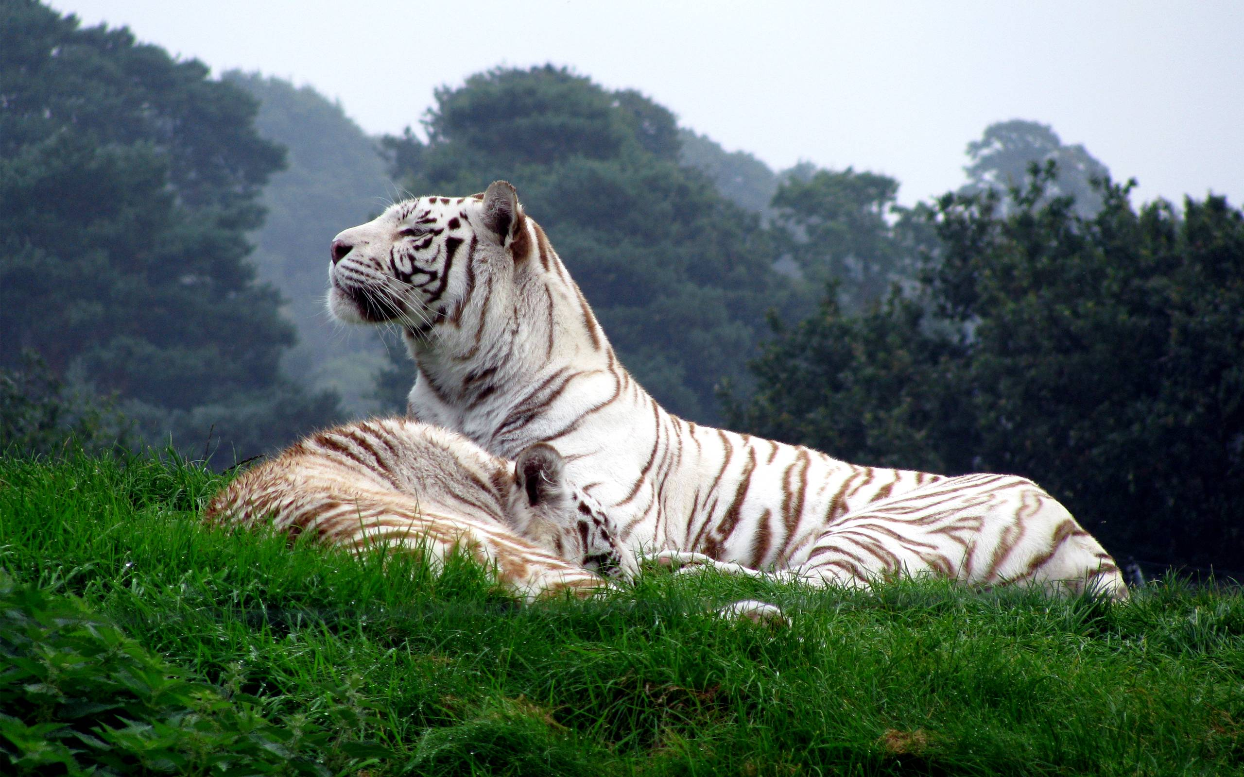 tiger wallpaper widescreen -#main
