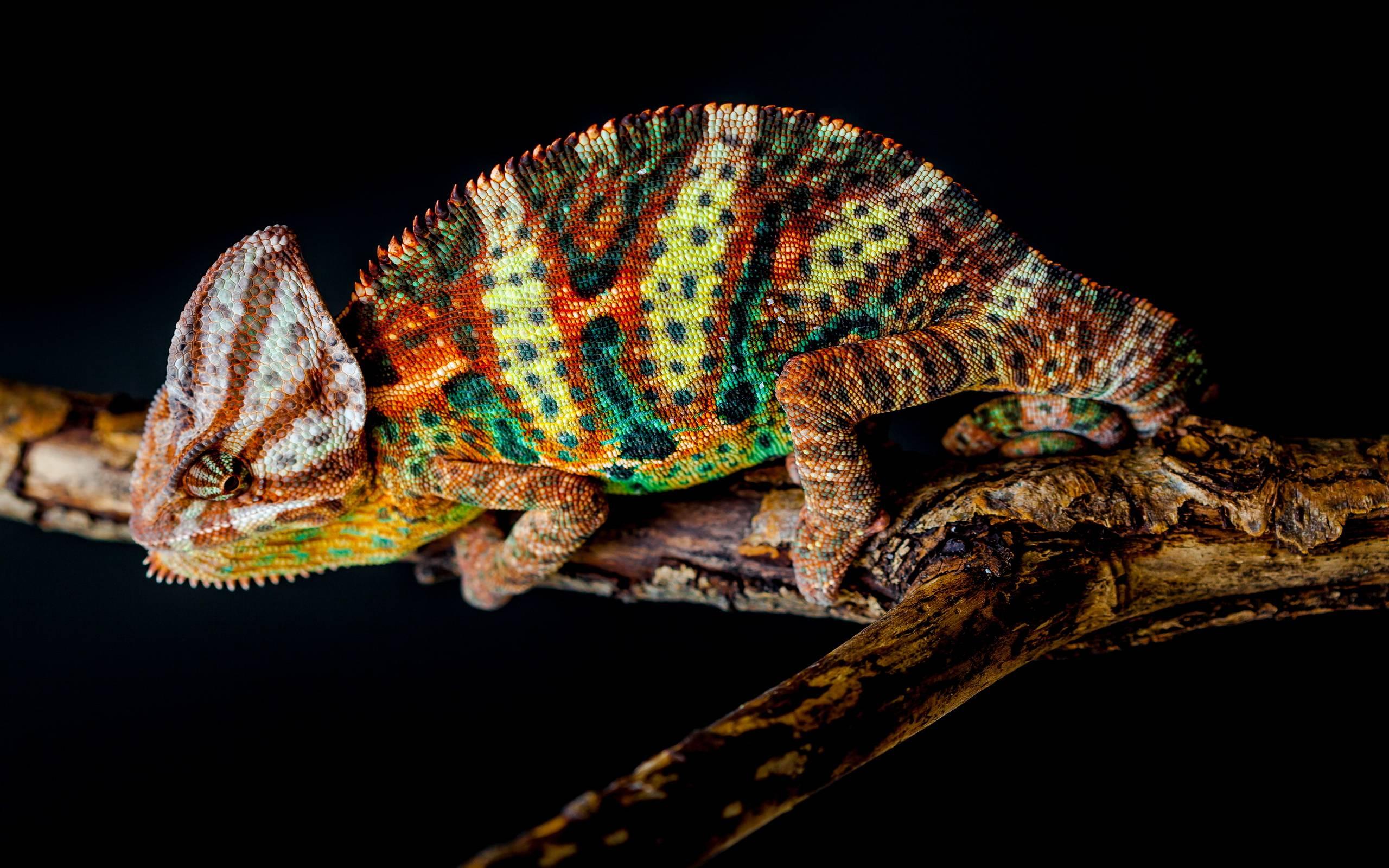 striped chameleon wallpaper hd - photo #21
