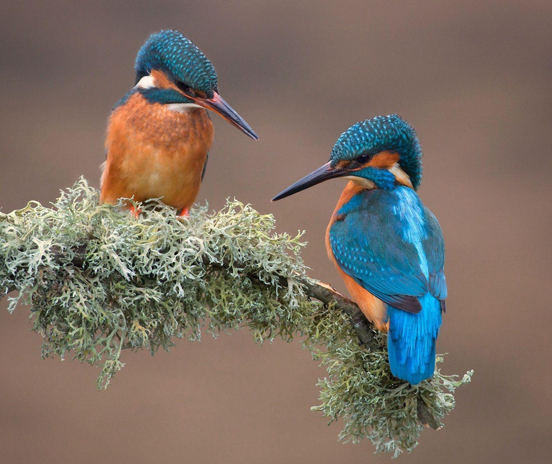 kingfisher wallpapers hd - photo #11