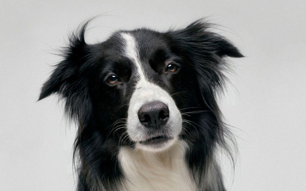 73 border collie hd -#main
