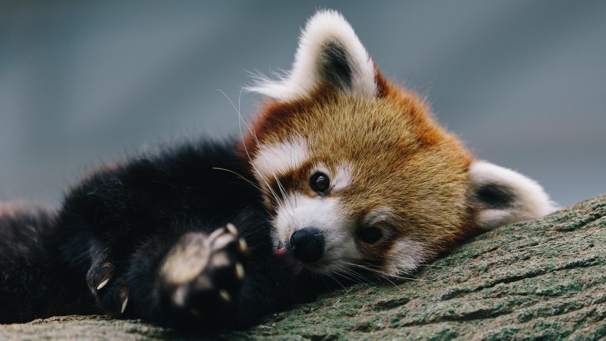 Red Panda Wallpaper 1920x1080