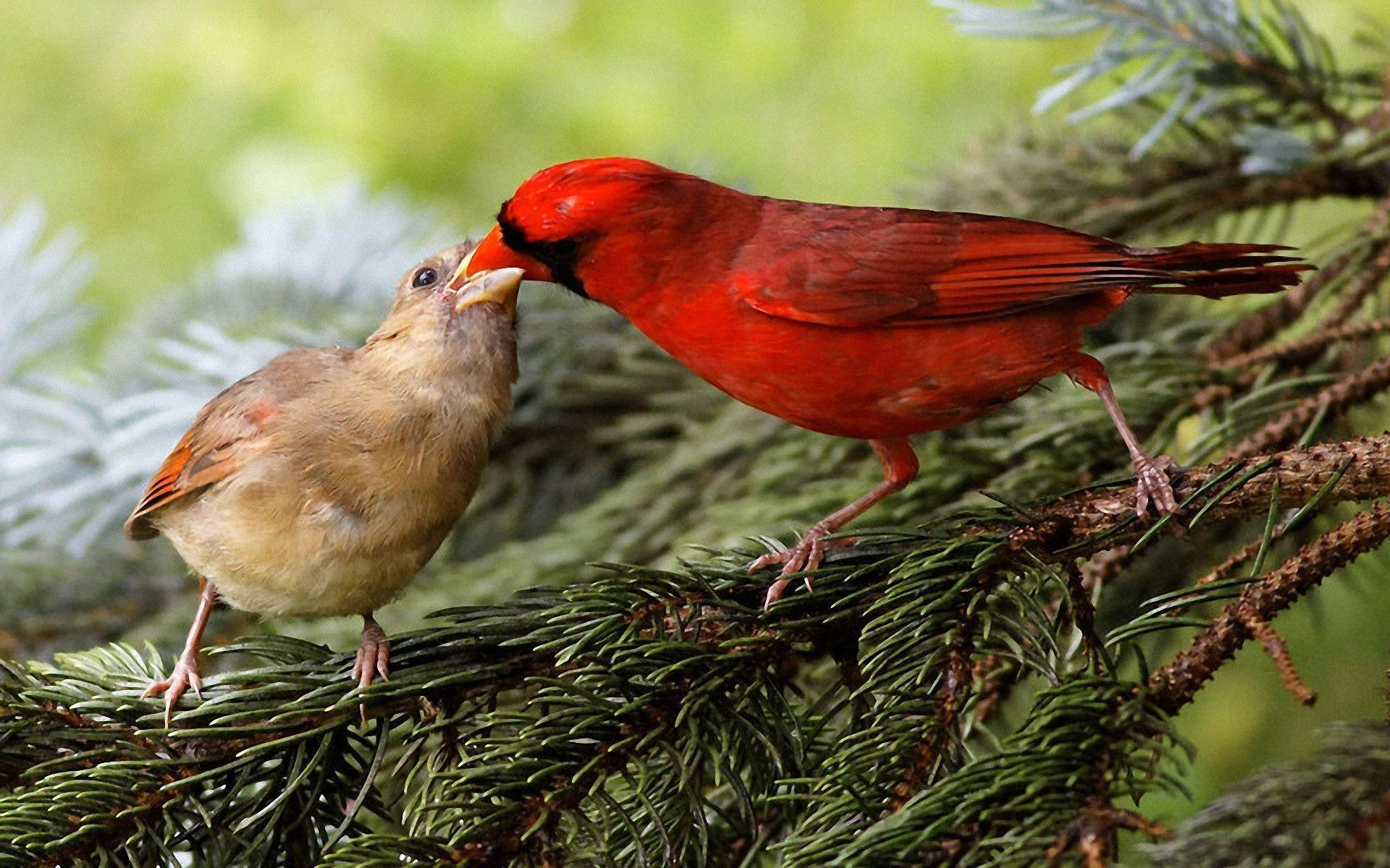 What does a female cardinal bird look like 10