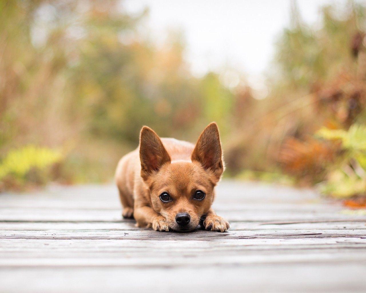 dog chihuahua background - photo #22