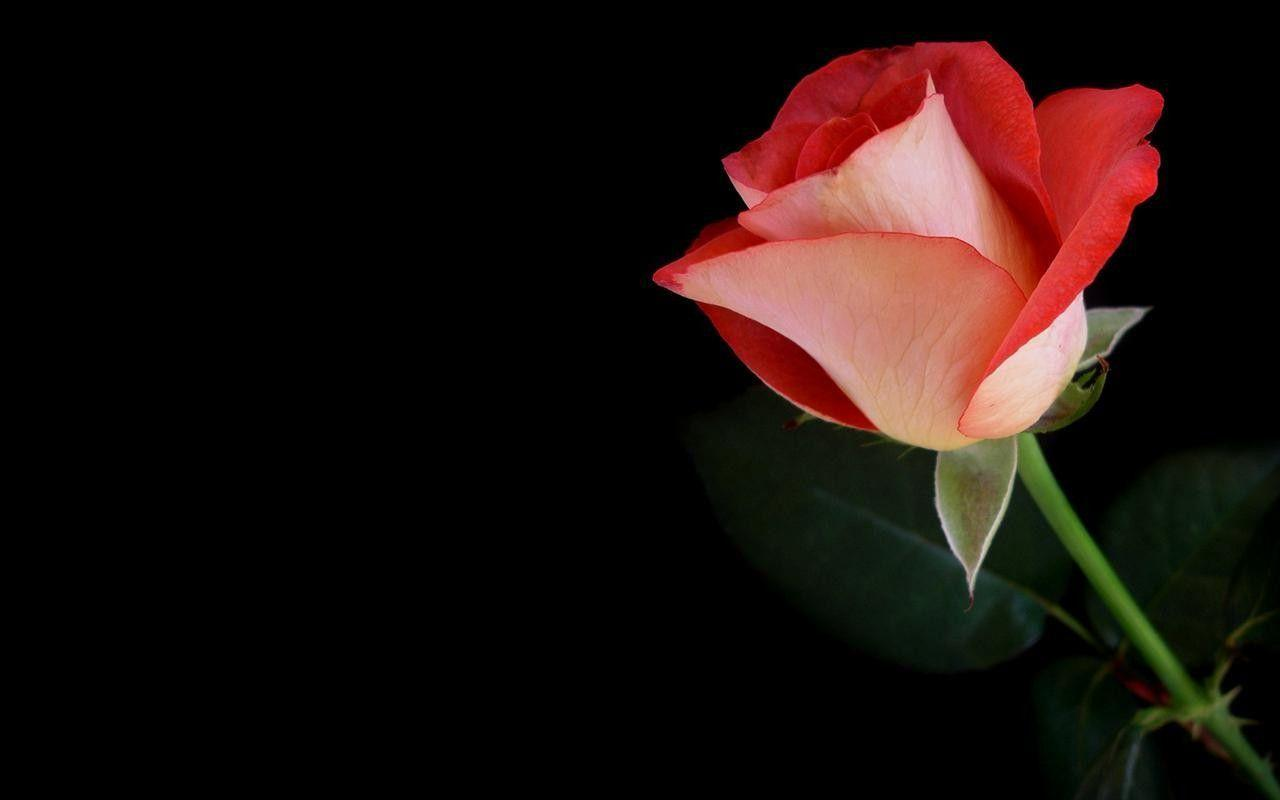 Rose black backgrounds wallpaper cave - Pink rose black background wallpaper ...
