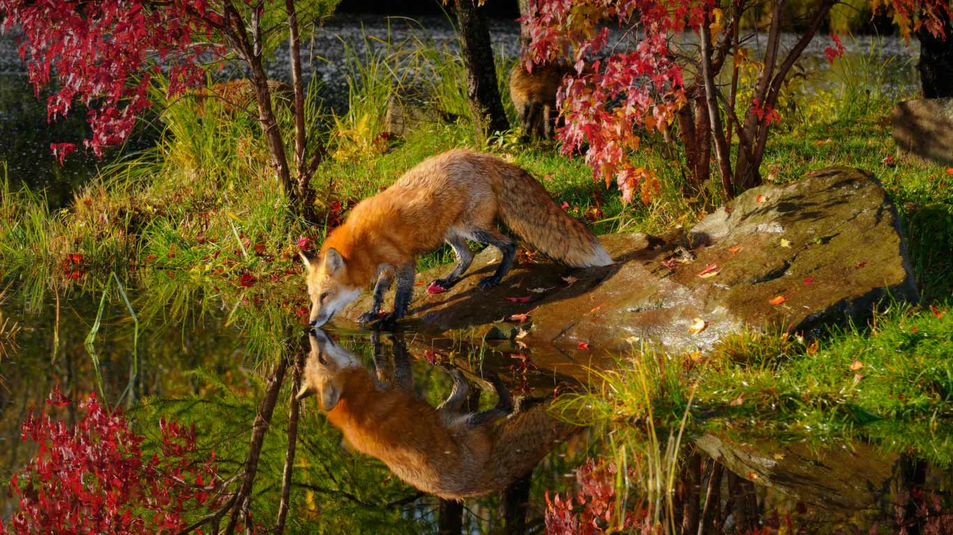 Wallpapers For > Red Fox Wallpaper National Geographic