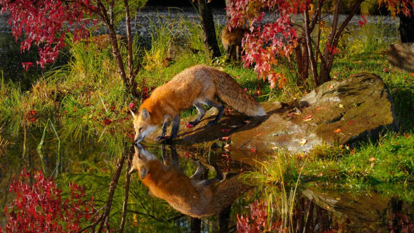 Baby Fox Wallpaper - WallpaperSafari