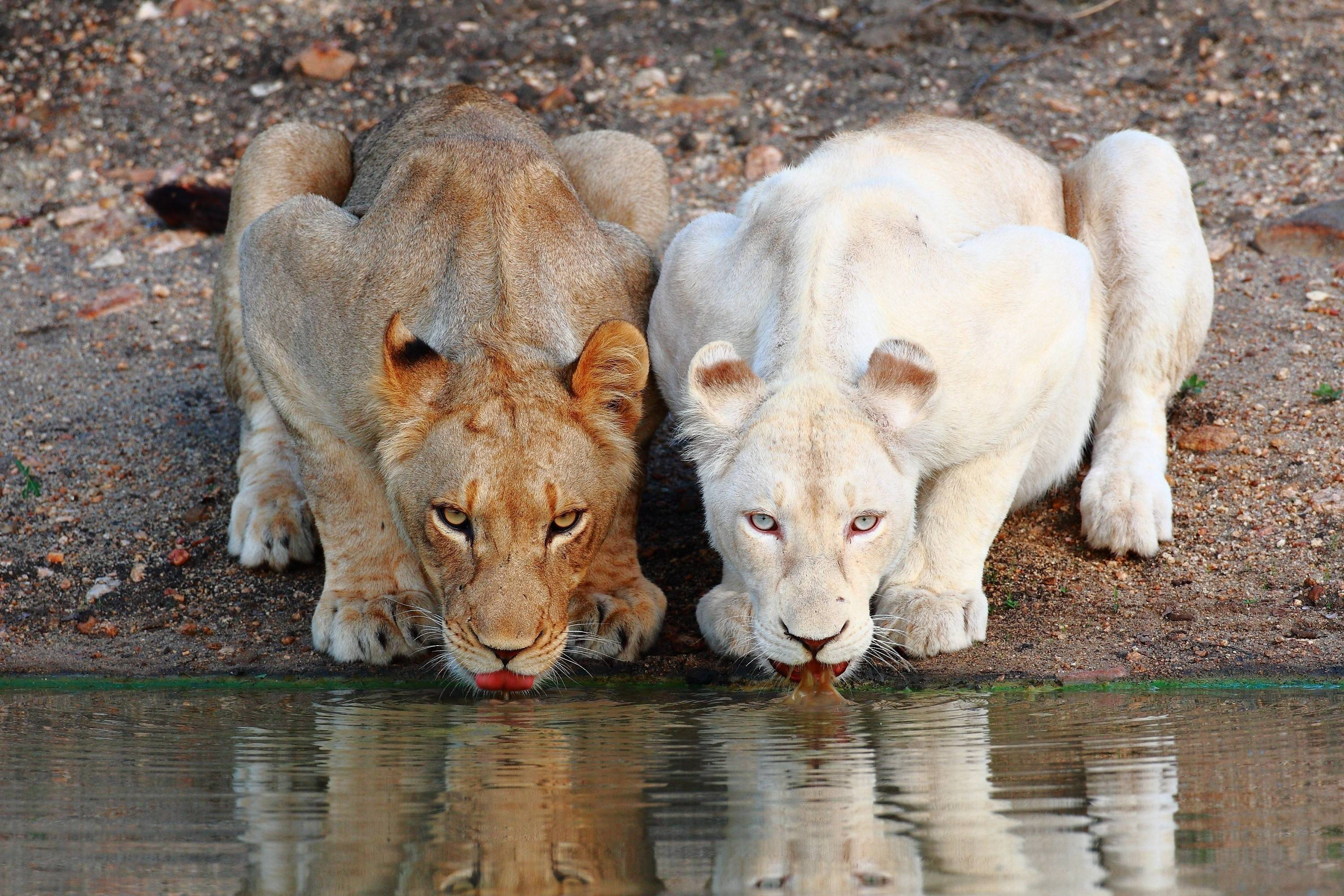 Wallpaper Hd White Lion Hq Images 12 HD Wallpapers
