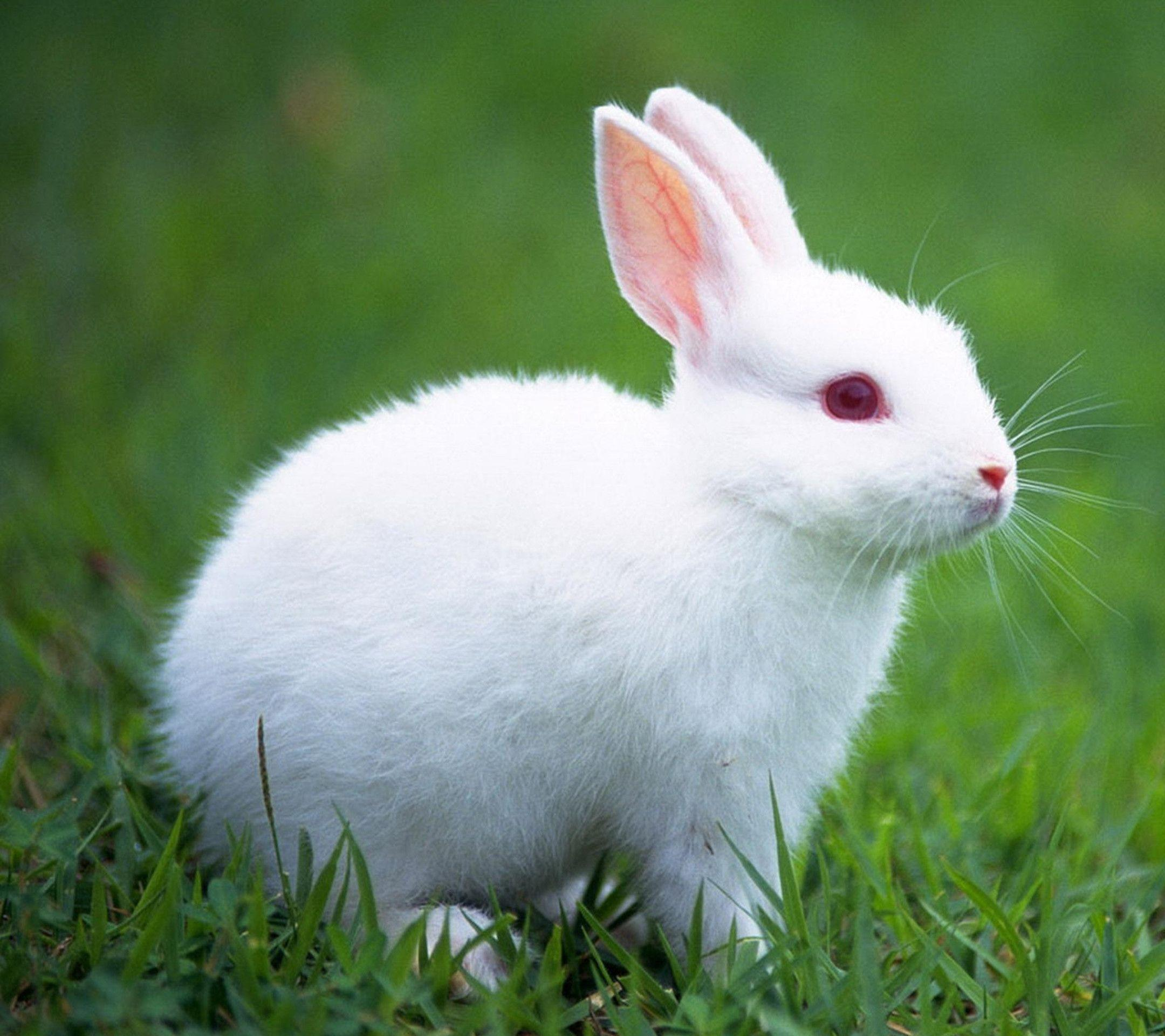 White Rabbit HD Wallpapers - HD Wallpapers Inn