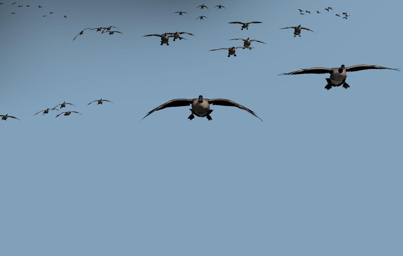 waterfowl wallpapers wallpaper cave