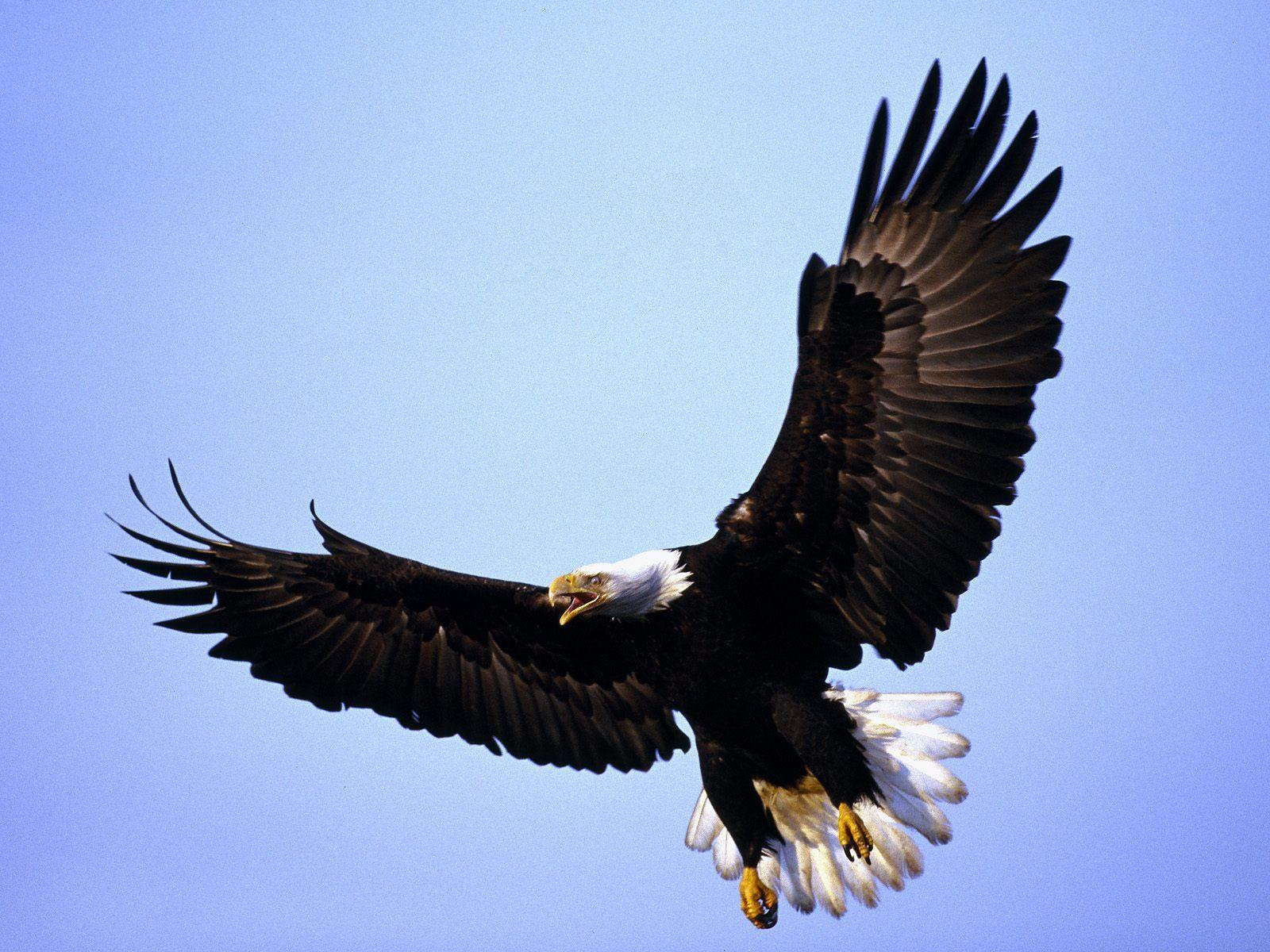 Flying image of hd bald eagle wallpapers