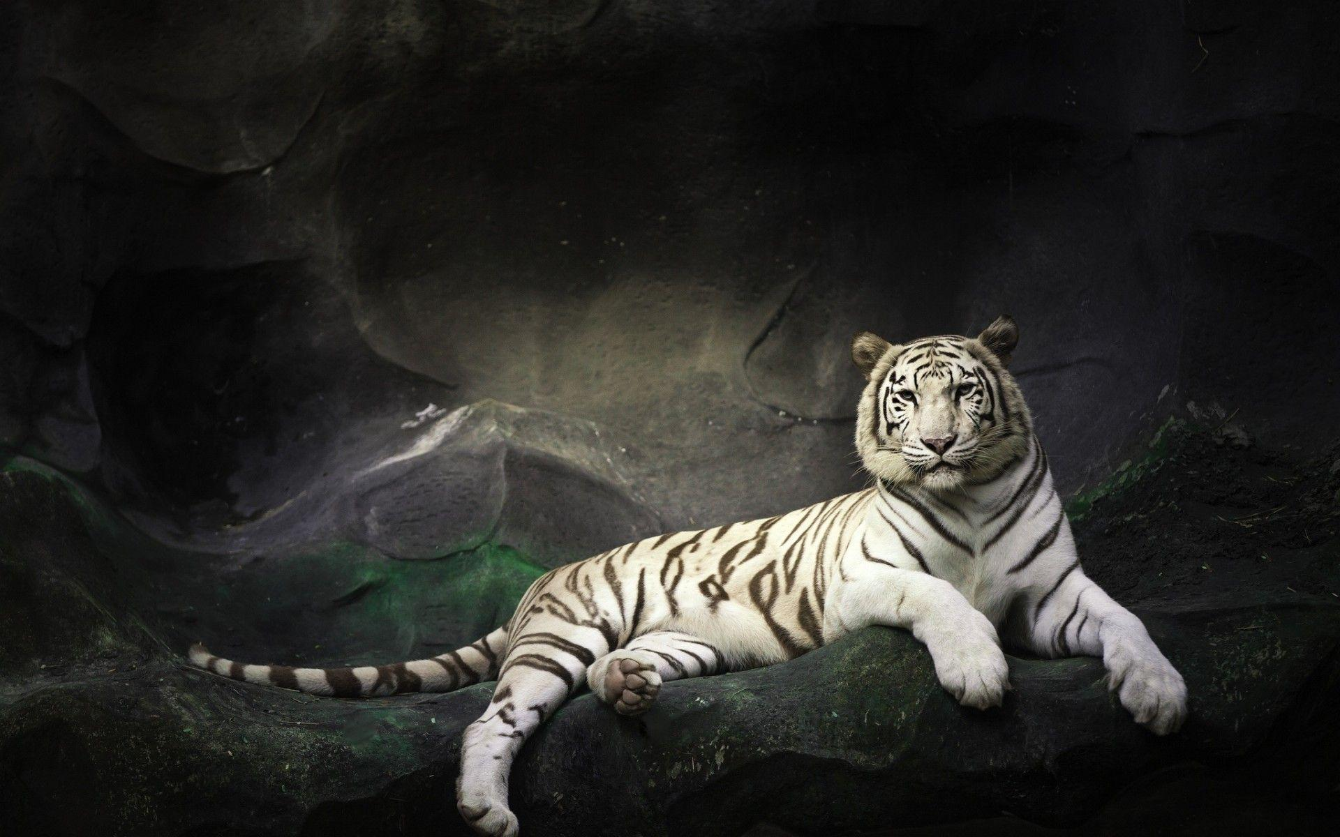 wallpaper hd white tiger - photo #12