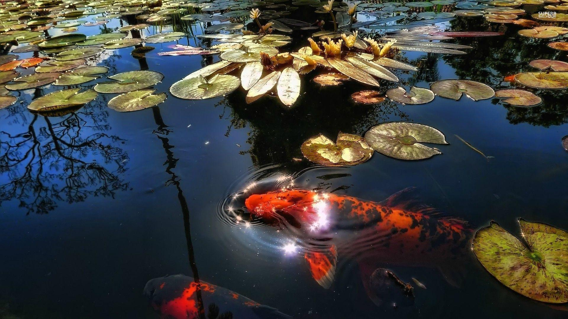 Koi Pond Wallpapers Wallpaper Cave