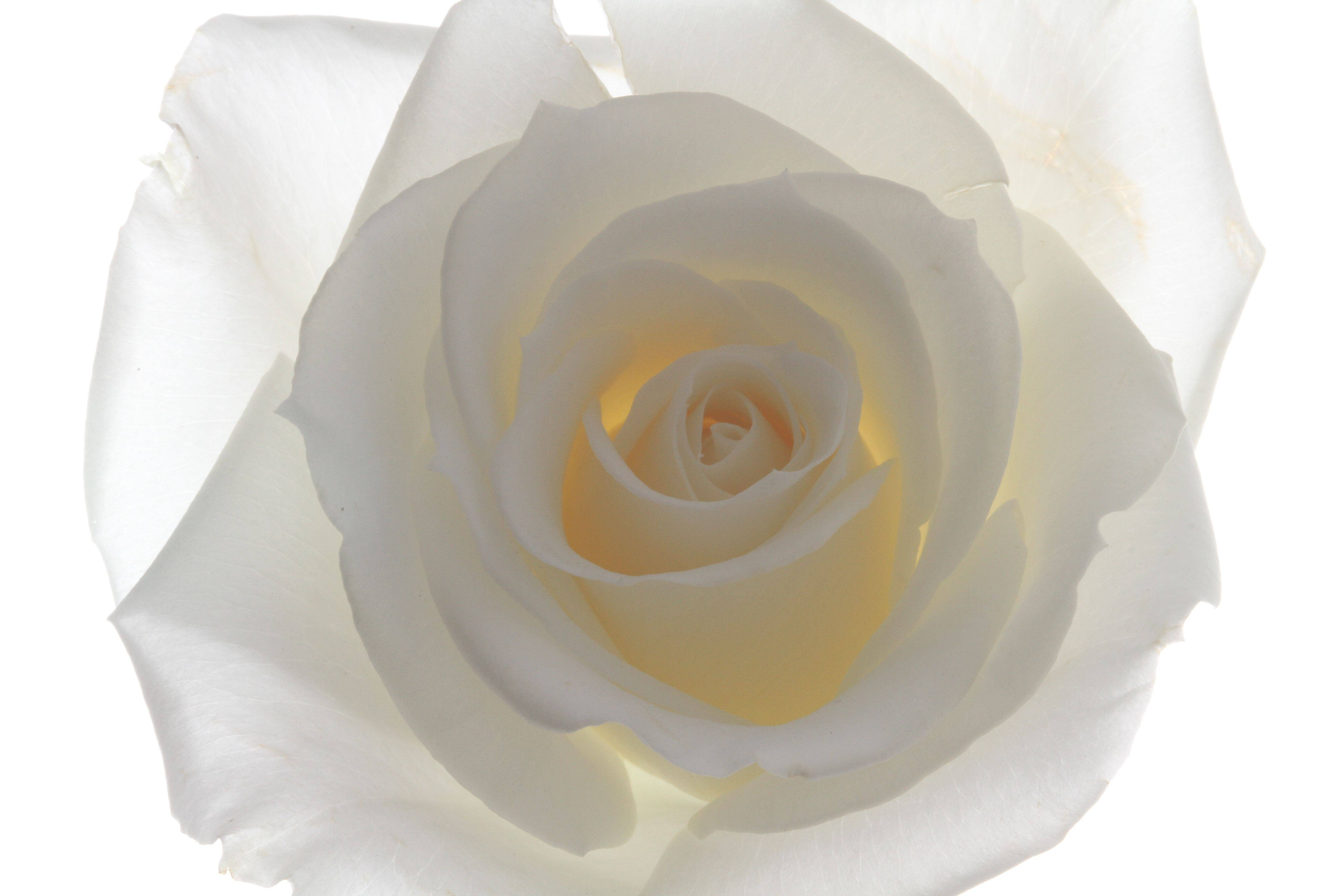 Focal Length » White Rose backlit and against white backgrounds
