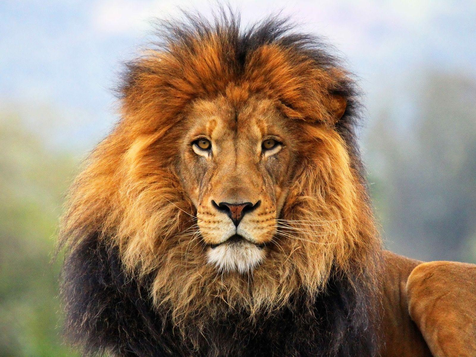 Lion Desktop Wallpaper | Lion Images, Pictures | New Wallpapers