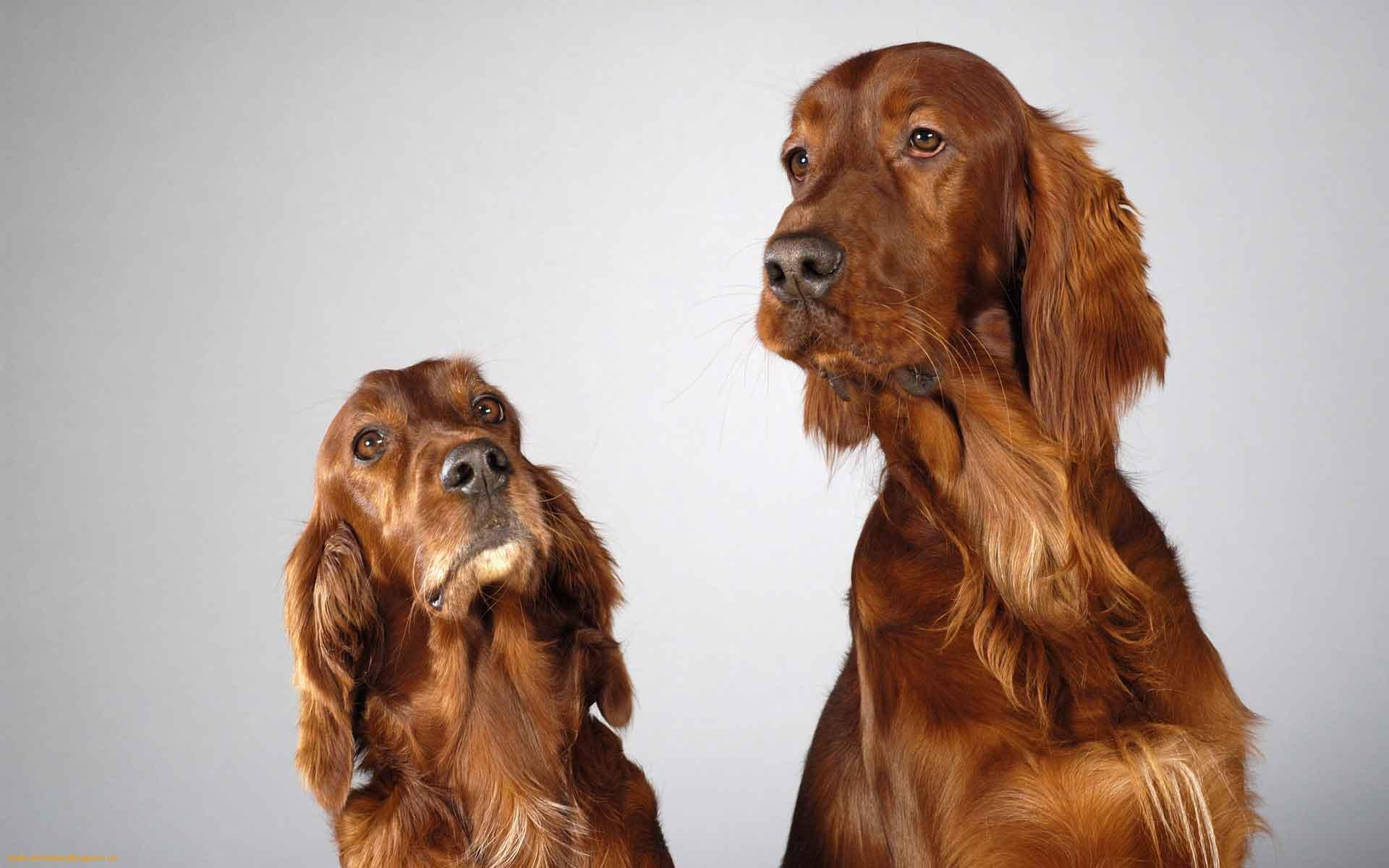 Two cute English Cocker Spaniel dogs photo and wallpaper ...