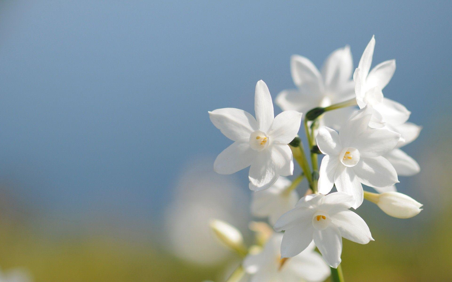 Jasmine Flower Wallpapers Wallpaper Cave