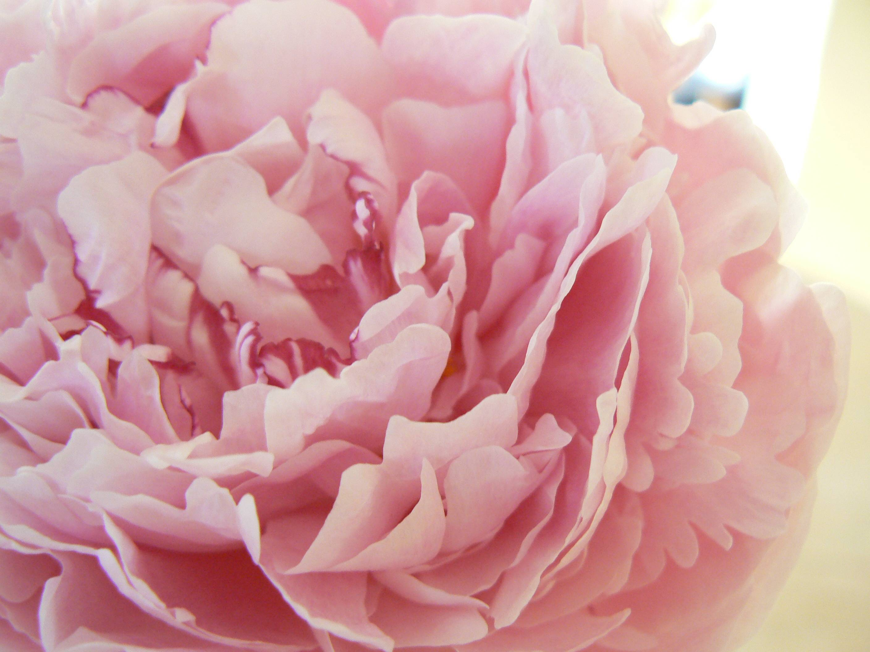 coral peonies wallpapers high - photo #15