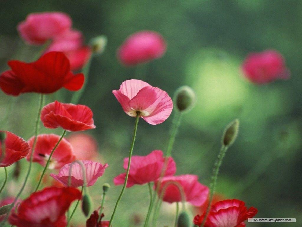 poppy flower wallpapers wallpaper cave