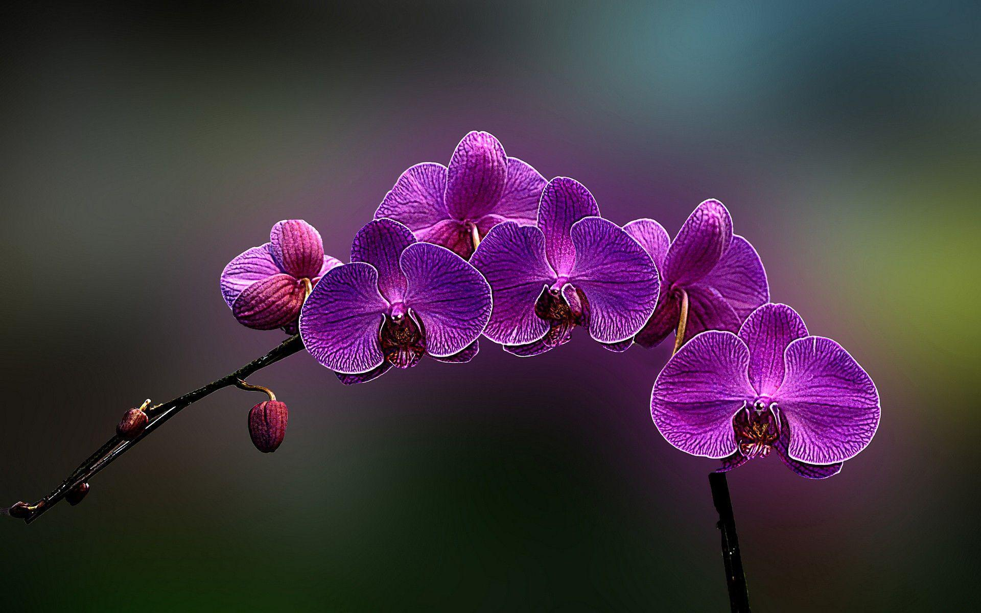 orchid wallpapers backgrounds images - photo #1