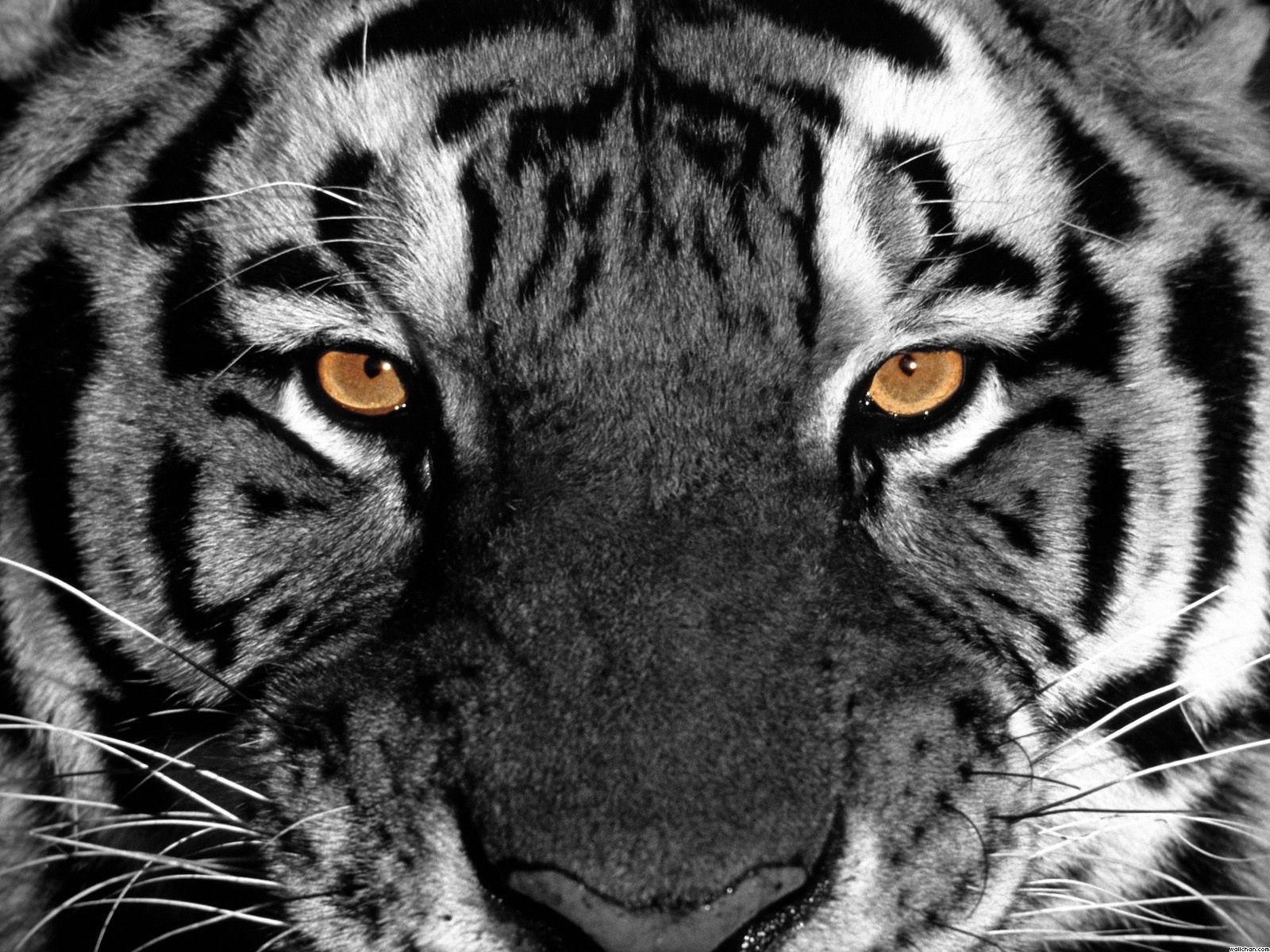 Tiger Eyes Wallpaper - Eyes Wallpaper (28331382) - Fanpop