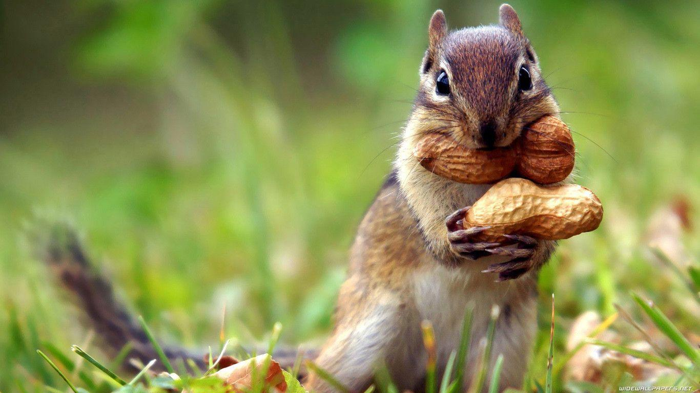 Squirrel Wallpapers HD, Pictures, Photos & Desktop Images